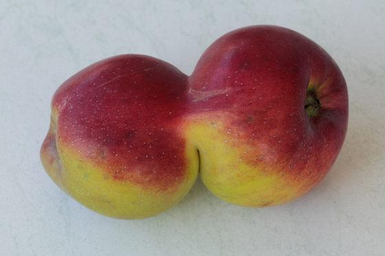 Zusammengewachsene Winterrambur oder Siamesische Äpfel